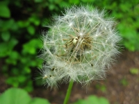 dandelion-needs-weeding