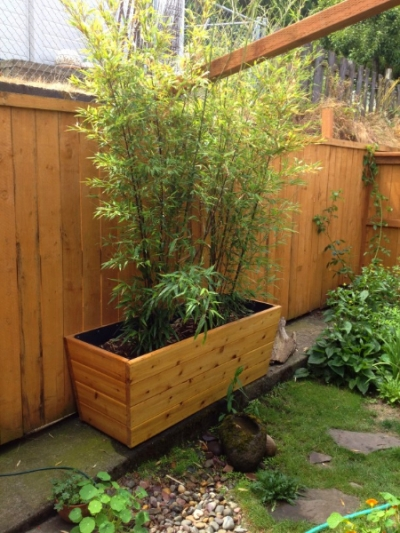 Bamboo in the wood planter