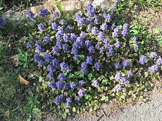 Spiky blue flowers of Bugleweed (ajuga reptans)
