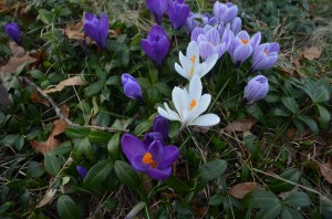 photo of purple and white crocus