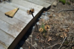 image of withered echinacea and wood bridge